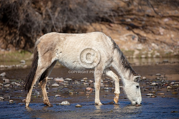 Wild horse drinking at the river
