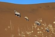 Gemsbok - Namib Desert - Namibia
