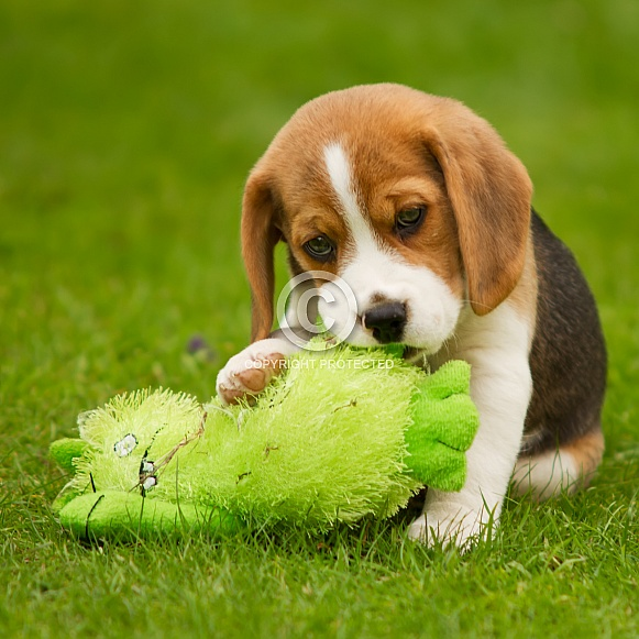 Beagle Puppy with Toy