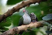 Beautiful fruit dove (Ptilinopus pulchellus