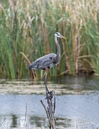 Great blue heron standing on a branch near the water
