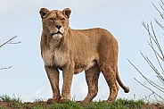 African Lioness Standing On Top Of A Hill Full Body