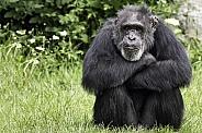 Chimpanzee Sitting Head On Arms Thoughtful