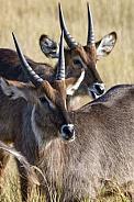 Waterbuck - Okavango Delta in Botswana