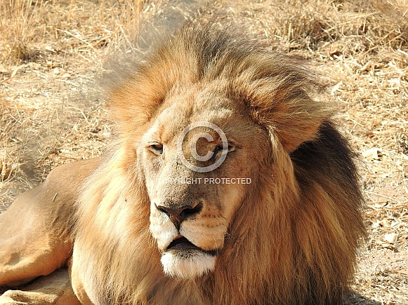 Tawny Lion Male