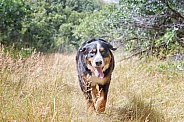 Burnese Mountain Dog