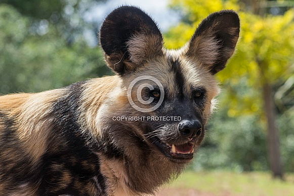 close up of African Painted Dog