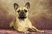 Fawn French Bulldog Lying Down