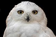Snowy Owl Face Shot