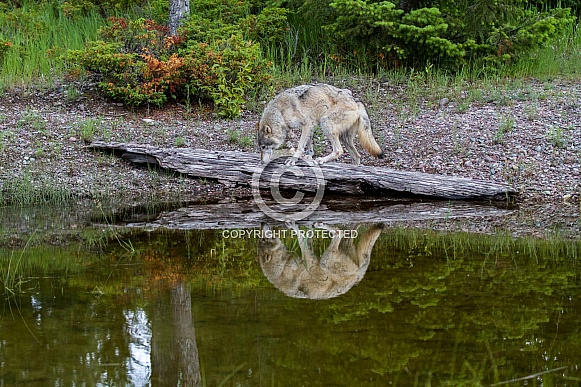 Gray Wolf and his Reflection in the Pond