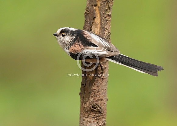 Long-Tailed Tit on Branch