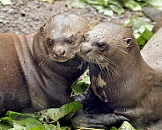 Pair of giant otters