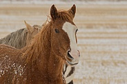 Sorrel Horse in Snow