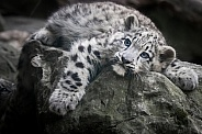 Snow leopard cub relaxing on stone