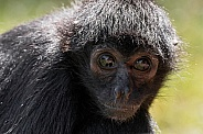 Spider Monkey Face Shot Close Up