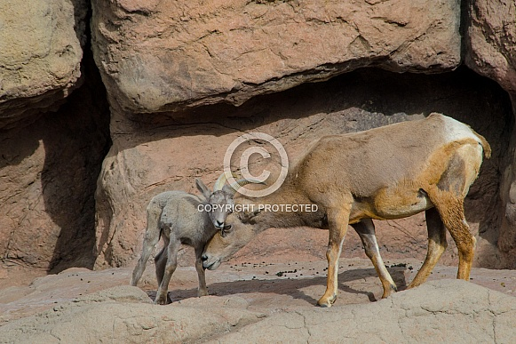 Bighorn Sheep - Mother nuzzling her Lamb