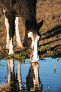 Tennessee Walking Horse Drinking Water