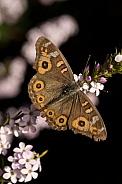 Meadow Argus Butterfly (wild).