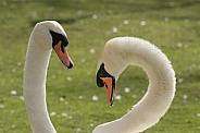 Pair of Swans Close Up