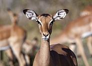 Female Impala - Botswana