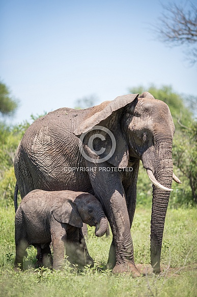 African Elephant With Calf (wild)