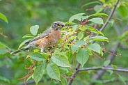 American Robin eating Chokecherries