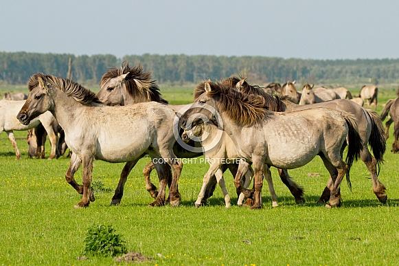 Wild Konik horses