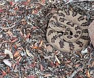 Great basin rattlesnake,Crotalus oreganus lutosus
