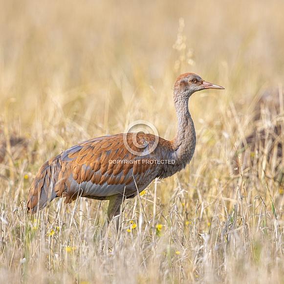 Lesser Sandhill Crane Colt in a Barley Field