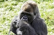 Western Lowland Gorilla Sitting Sucking Thumb
