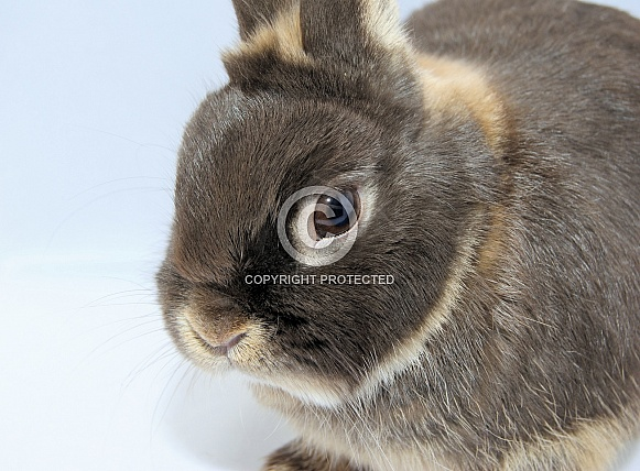 Chocolate otter netherland dwarf  bunny