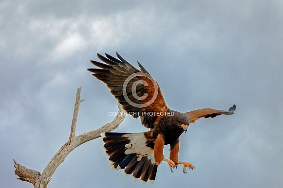 Harris Hawk Takeoff