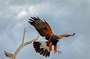 Harris Hawk Takeoff
