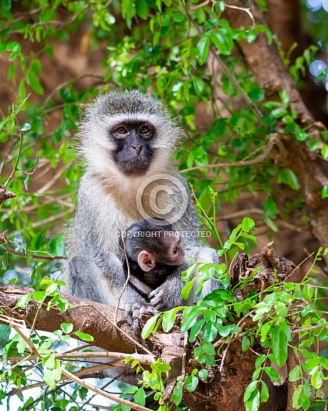 Vervet Monkeys