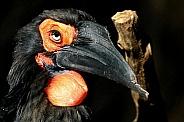 Ground Hornbill