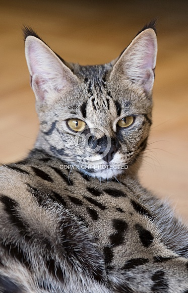 Savannah Cat