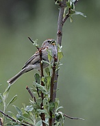American Tree Sparrow Singing with a Mouth Full