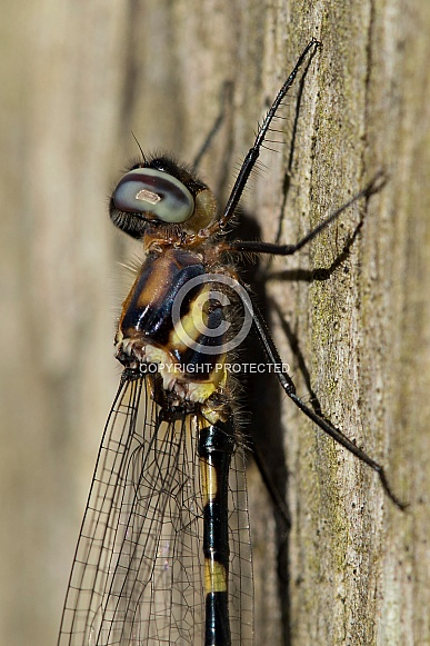 Common Shutwing Dradonfly.