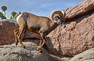 Big Horn Sheep Ram