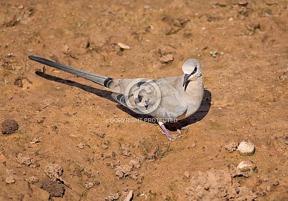 Female Namaqua Dove