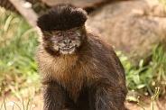 Black-Capped Capuchin