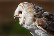 Barn Owl Close Up Beak Open
