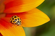 Common Spotted Ladybird on Daisy.