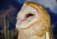 Owl - Barn Owl Portrait