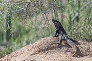 Spinytail Lizard