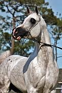 Arabian Stallion III