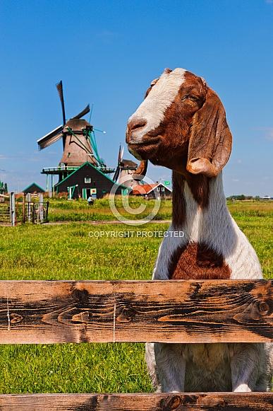 Dutch Goat