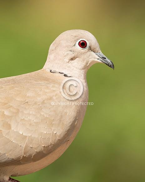 Collared Dove Portrait