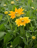 Mexican or Japanese Sunflowers or Nitobe chrysanthemum
