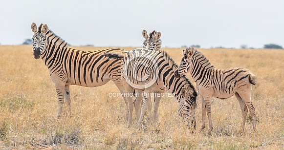 Burchell's Zebra Family Group